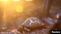 Черепаха, що згоріла під час лісової пожежі в місті Манавгат, що у 75 кілометрах від курорту Анталія, Туреччина. 28 липня, 2021